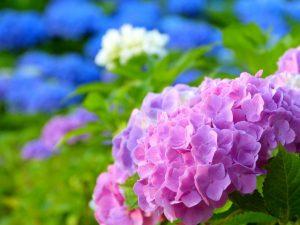 紫陽花の色が変化する理由は?色ごとの花言葉もご紹介